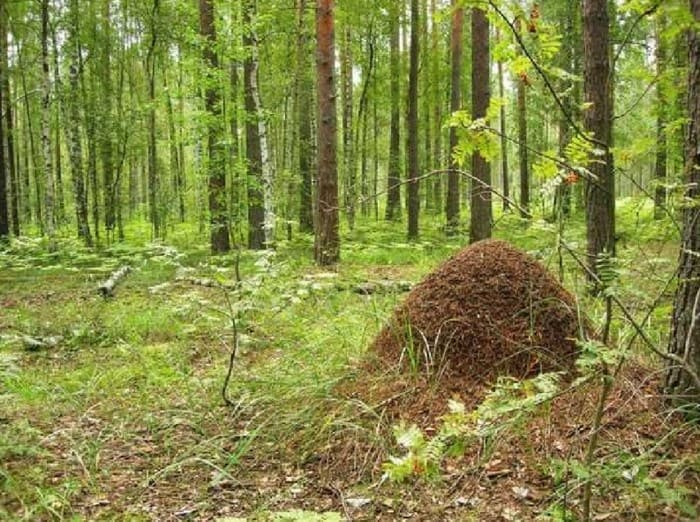 Муравейник на опушке в лесу