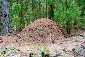 Определение сторон по муравейнику