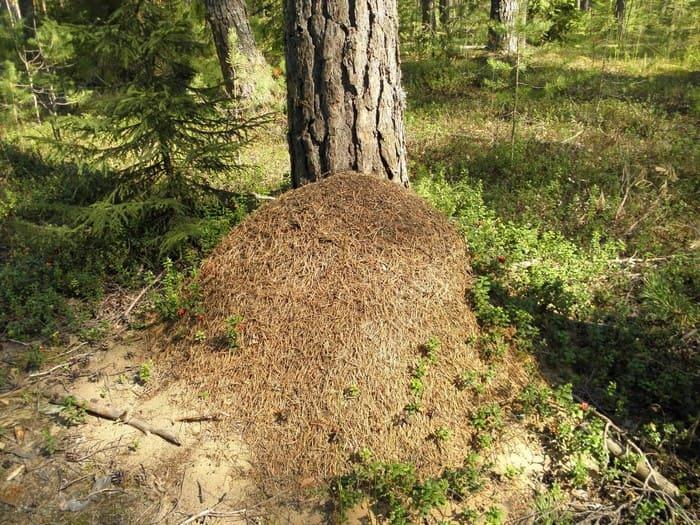 Ориентирование на местности по муравейнику