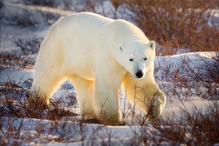 Белый медведь – охотник