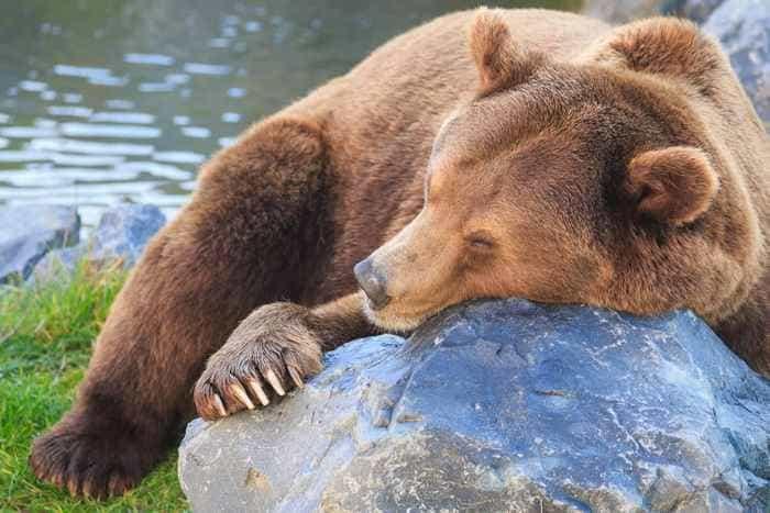 Будить спящего хищника нельзя