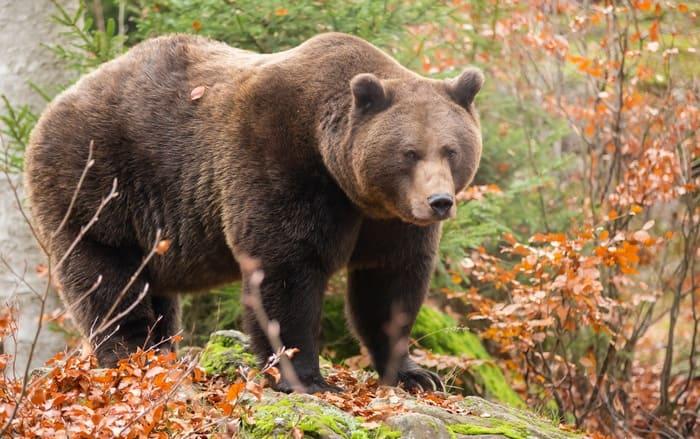 Бурый медведь считается хищным млекопитающим