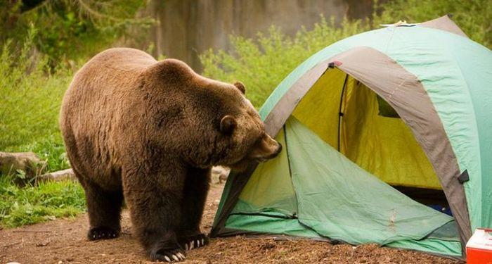Медведь может вами заинтересоваться из любопытства