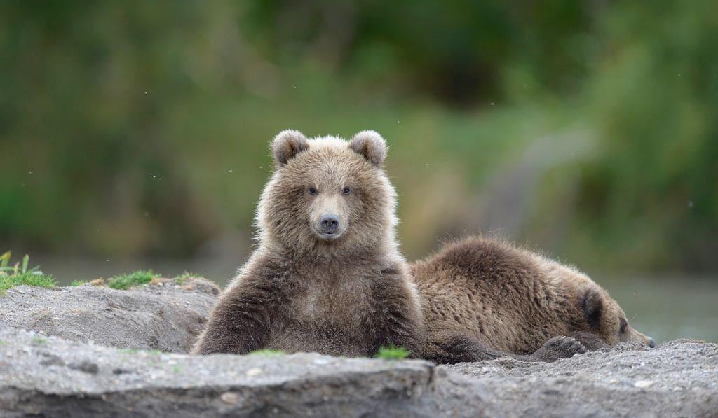 Медвежата сеголетки