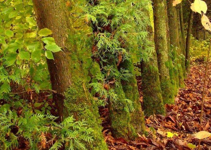 Растущий мох на дереве указывает на северную сторону света