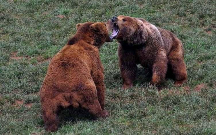 Период гона у медведей