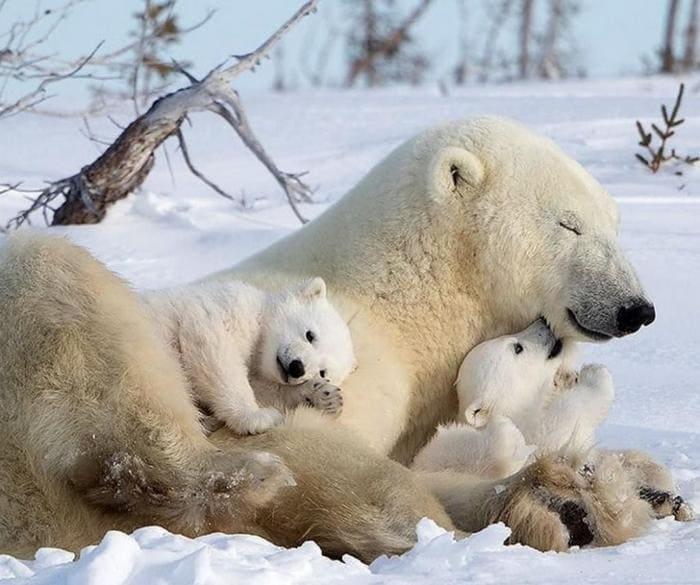 Серьезную опасность представляют медведицы с детенышами