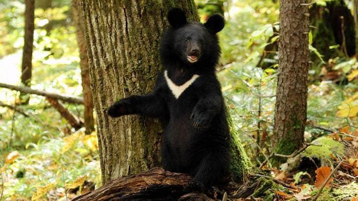 Встречаться с людьми гималайские медведи стараются очень редко