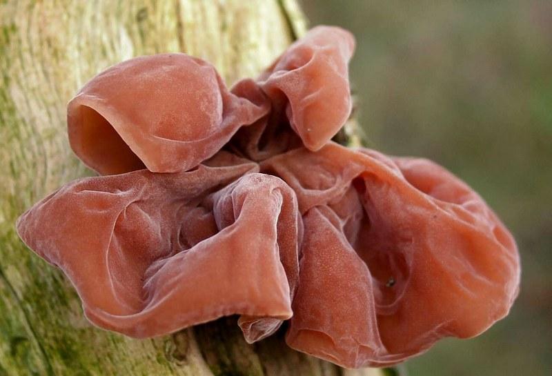 Аурикулярия уховидная растет на мертвой древесине и на ветках лиственных деревьев и кустарников
