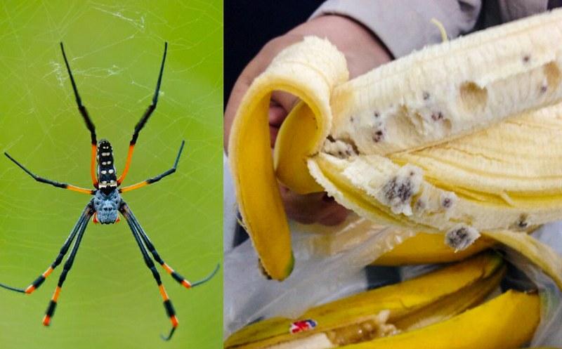 Банановый паук - ядовитое насекомое, которое обычно живет на банановых пальмах