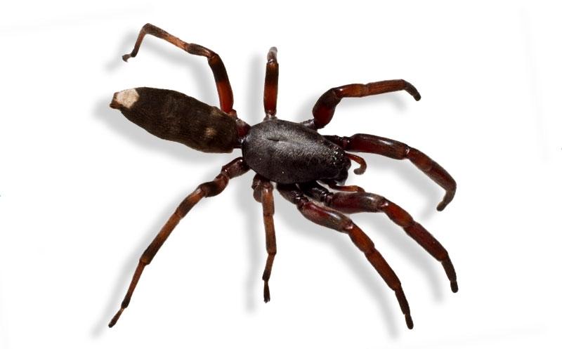 Белохвостый паук обладает токсичным ядом, способным причинить серьезный вред здоровью человека
