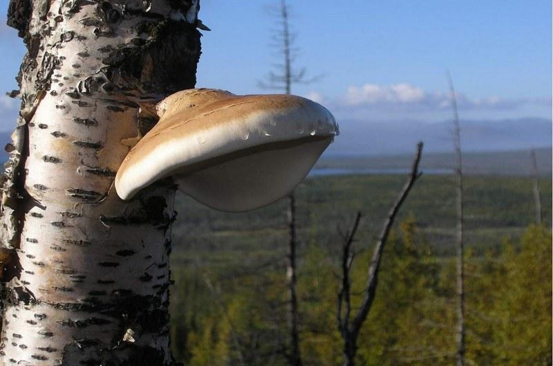 Березовая чага – ценный гриб, основным достоинством которого являются ярко выраженные противомикробные и антисептические свойства.
