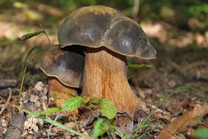 Боровик бронзовый — редкий гриб, обладающий высокими вкусовыми качествами