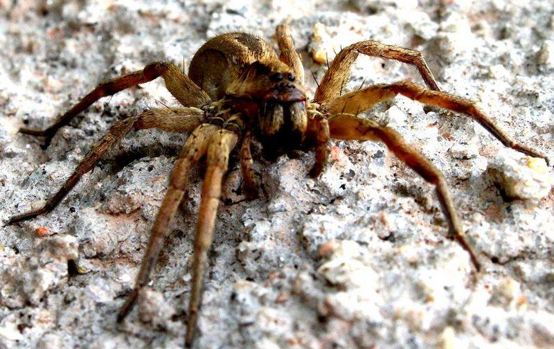 Бразильский паук-бегун - очень агрессивен и ядовит