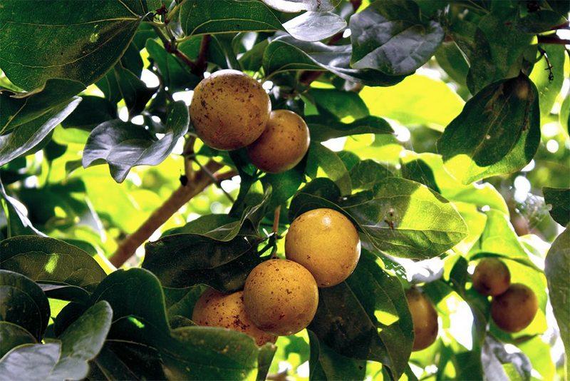 Чилибуха считается одним из самых ядовитых растений в мире
