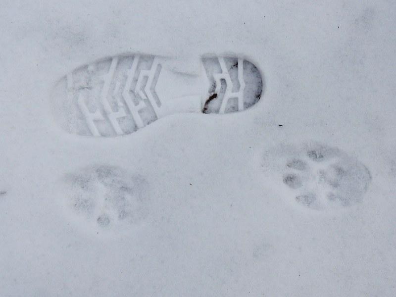 Чтобы определить срок давности следа, охотнику следует сравнить отпечаток лапы животного с о своим собственным