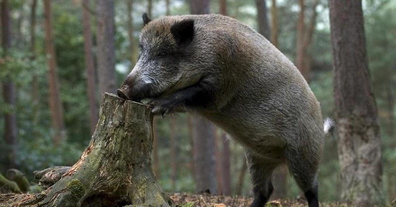 Дикий кабан — один из самых крупных жителей леса