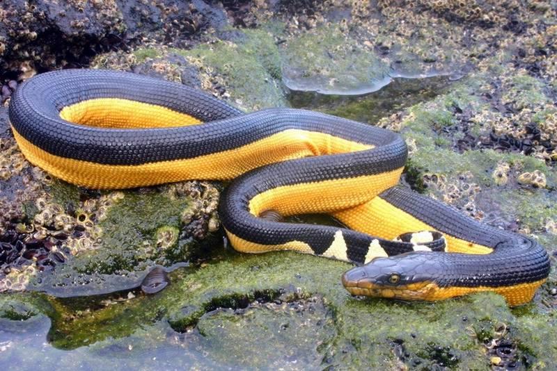 Двухцветная пеламида — морская змея, яд которой смертельно опасен для человека