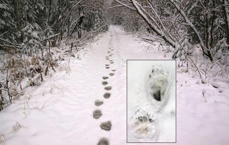 Если следы не присыпаны снегом, значит медведь где-то рядом