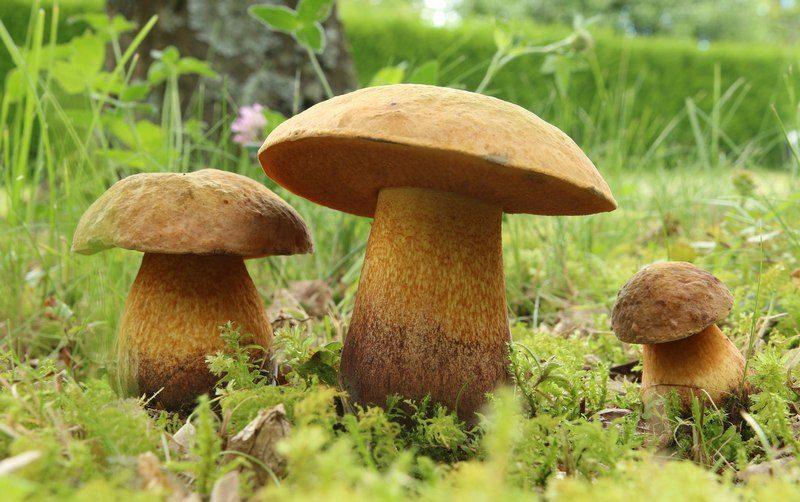 Гриб моховик получил свое название из-за произрастания плодовых тел во мху
