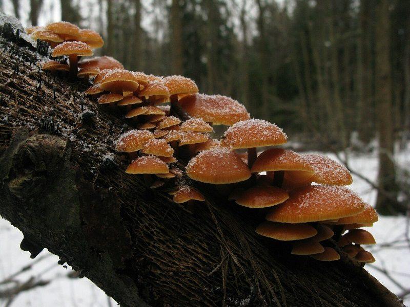 Грибы доступные для сбора зимой, располагаются высоко на деревьях или на сухих пнях