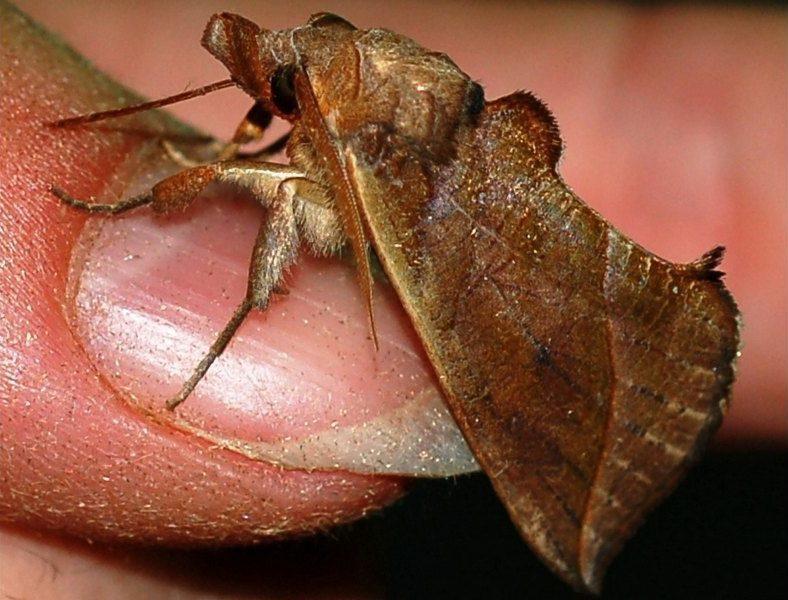 Калиптра василистниковая - ночная бабочка, питающаяся кровью живых существ