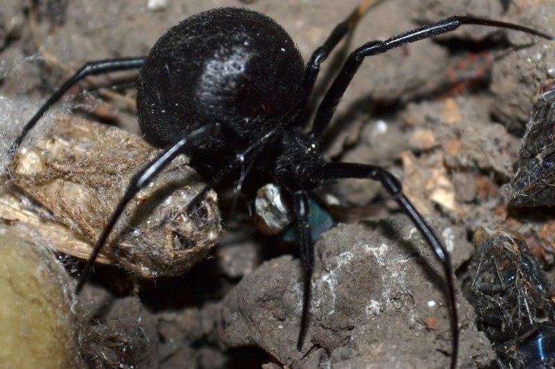 Каракурт – паук, который не нападает первым, но его укус ядовит и может привести к летальному исходу