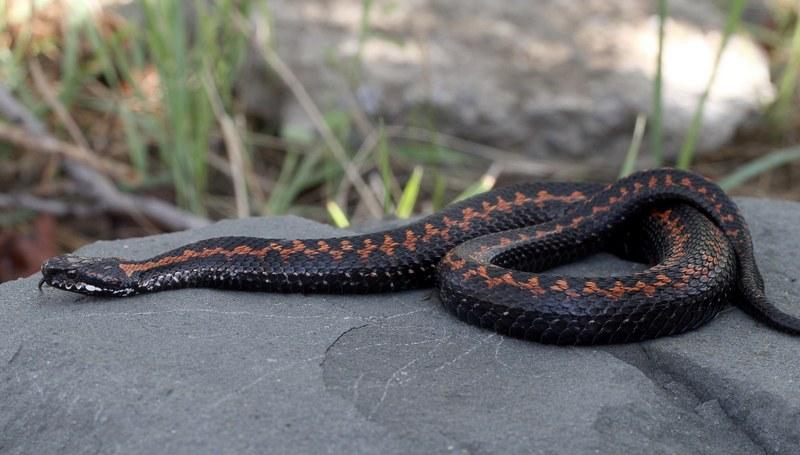 Кавказская гадюка — ядовитая змея, укус которой способен вызвать серьезные проблемы со здоровьем
