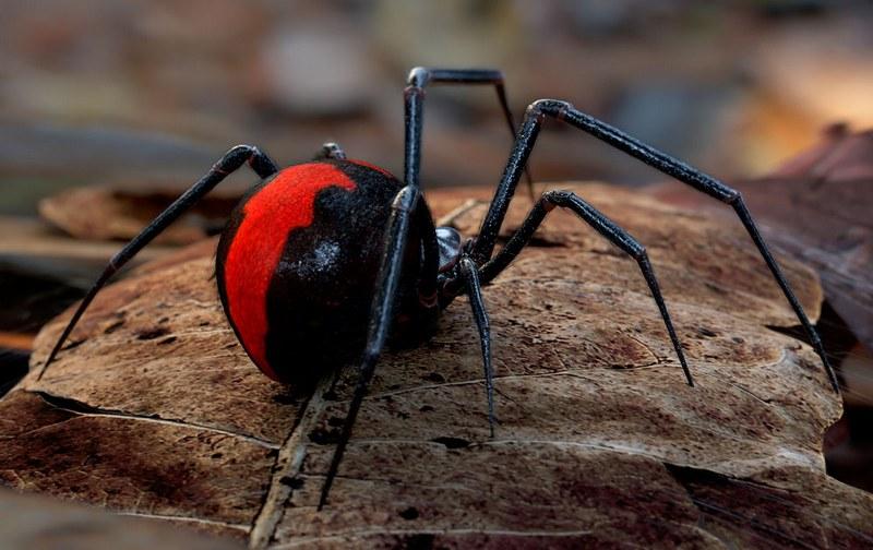 Красноспинный паук - опасный представитель фауны, обитающий в Австралии