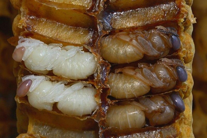 Куколки и личинки пчел имеют вкус орешков хвойных деревьев