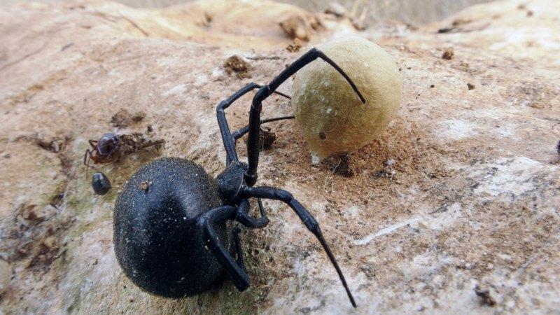 Кусает людей в основном самка паука каракурта