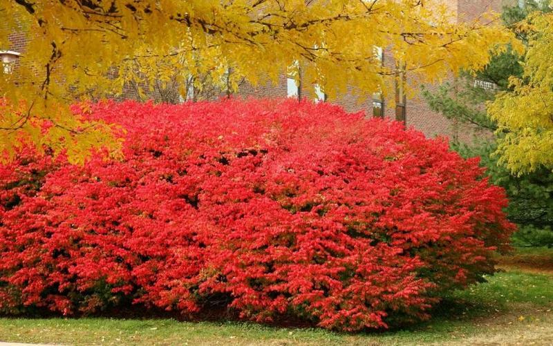 Кустарник бересклет используют в ландшафтном дизайне парков и садов