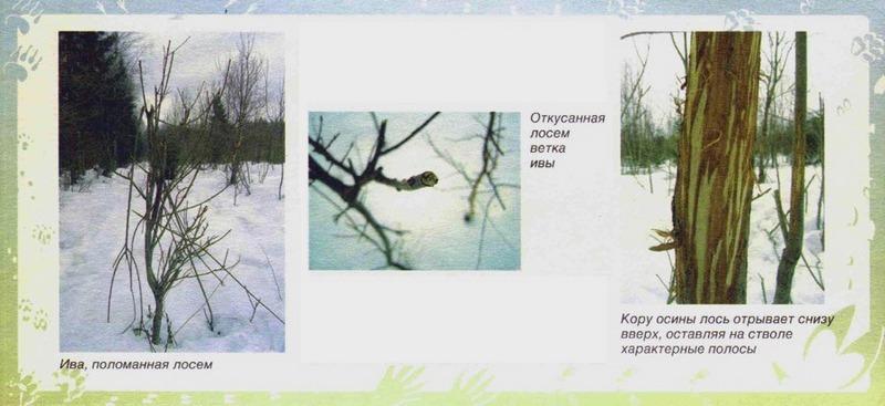 Лось объедает тонкие ветки деревьев, обкусывает верхушку, обгладывает кору