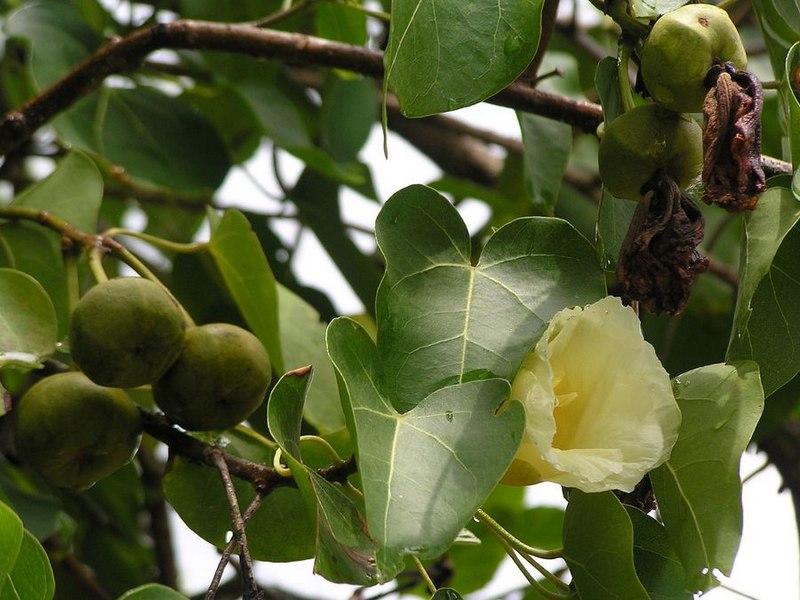 Манцинелла - одно из самых ядовитых деревьев на планете
