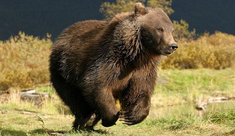 Медведь может развивать скорость до до 55 км/ч