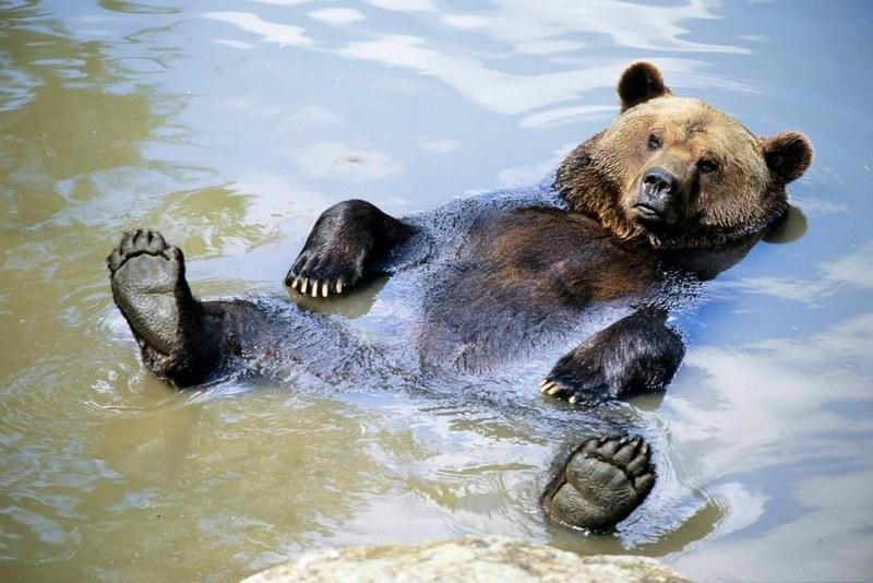 Бурый медведь не только умеет, но и любит плавать