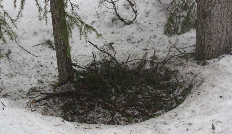 Медведь устраивает лежканки на снегу, утепляя их ветками или березовой трухой