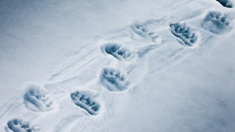 Медвежьи следы на снегу - знак того, что рядом бродит медведь-шатун