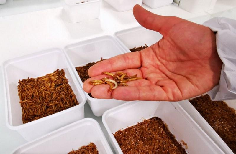 Мучных червей часто используют качестве пищевого ингредиента