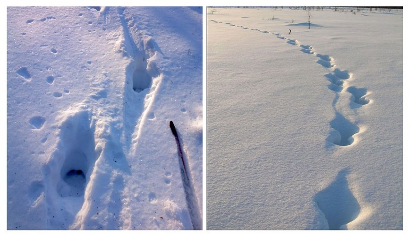 Направление движения лося можно определить по поволоке и выволоке следа