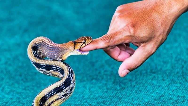 Некоторые виды змей, обитающих на территории России, представляют реальную опасность для жизни человека