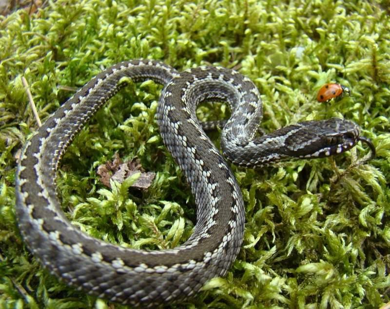 Обыкновенная гадюка является самой распространенной ядовитой змеей, и встречается практически на всей территории России