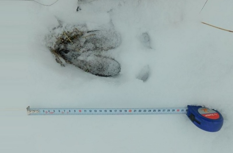 Отличить следы лося от следов других животных нетрудно по их большому размеру