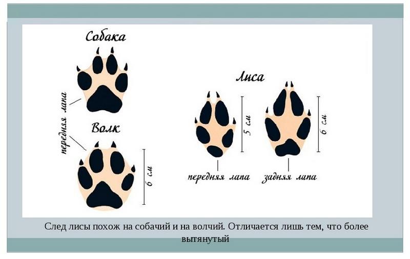 Отличия отпечатка лисьих лап от следа собаки и волка