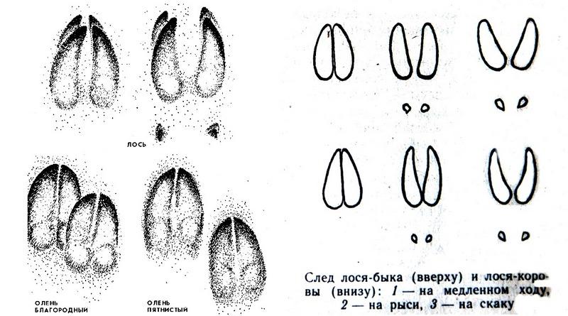 Отличия следов лося от отпечатков животных родственных видов
