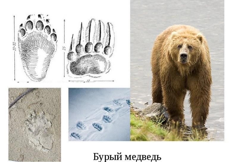 Оттиски лап бурого медведя
