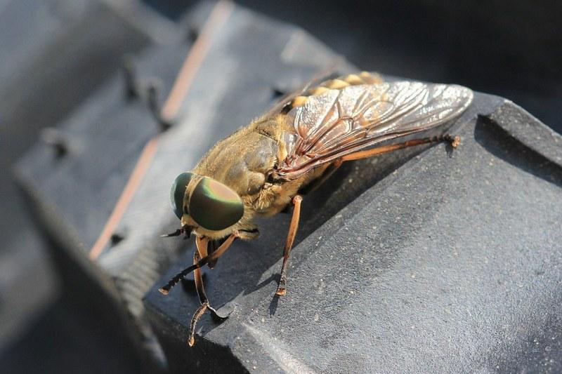 Овод – крупная муха, паразитирующая на теле животных и человека