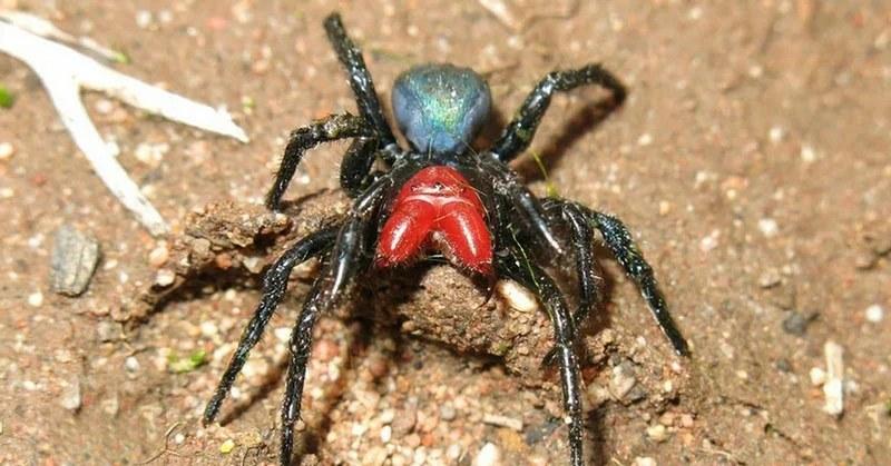 Паук-мышь нападает на мышей и насекомых, впрыскивая парализующий нейротоксин