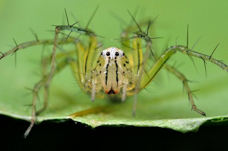 Паук-рысь плюется в добычу особой «паутиной», пропитанной ядом