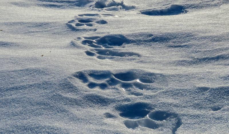 Передвигаясь по глубокому снегу, животное ставит задние ступни четко в следовые лунки передних